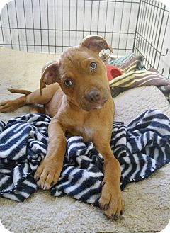 Pug/Siberian Husky Mix Puppy for adoption in New Braunfels, Texas - Rusty