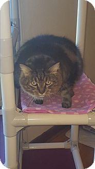 Domestic Mediumhair Cat for adoption in Salem, Ohio - Teddy Bear