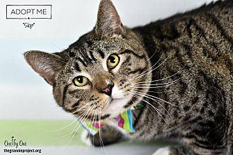Domestic Shorthair Cat for adoption in Wayne, Pennsylvania - Skip