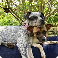 Australian Cattle Dog Mix Puppy for adoption in New York, New York - Marley