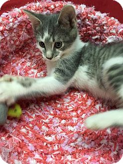 Domestic Shorthair Kitten for adoption in Butner, North Carolina - Cosmo