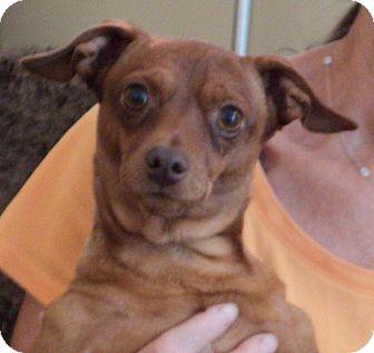 Miniature Pinscher/Chihuahua Mix Dog for adoption in Studio City, California - Fiesty
