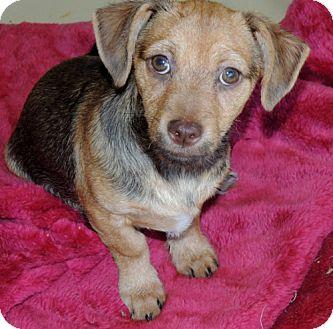 Dachshund/Beagle Mix Puppy for adoption in La Habra Heights, California - Beardsley