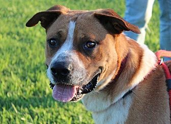 Boxer/Australian Cattle Dog Mix Dog for adoption in Owasso, Oklahoma - Chevy