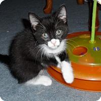 Adopt A Pet :: scamper kitten - brewerton, NY