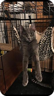 Russian Blue Cat for adoption in Hammond, Louisiana - Zoey