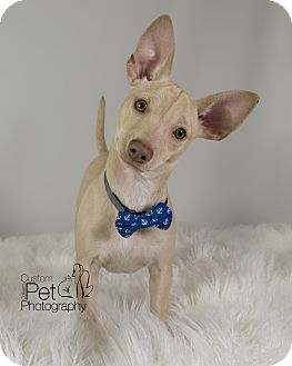 Chihuahua Mix Puppy for adoption in San Diego, California - Duke
