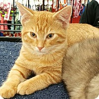 American Shorthair Cat for adoption in Lyons, Illinois - Oppie