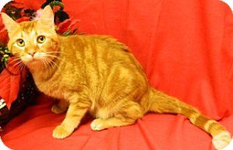 Domestic Shorthair Cat for adoption in Columbus, Nebraska - Max