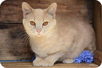 Domestic Shorthair Cat for adoption in Germantown, Maryland - Prancer