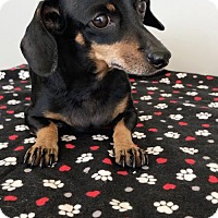Adopt A Pet :: Sassafras - Weston, FL