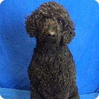 Adopt A Pet :: Jack - Show Low, AZ