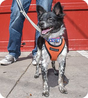 Papillon/Chihuahua Mix Puppy for adoption in Jersey City, New Jersey - Justin Hartley