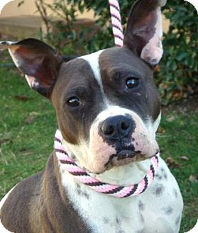 American Pit Bull Terrier Mix Dog for adoption in Red Bluff, California - Merida- URGENT$45 adoption fee