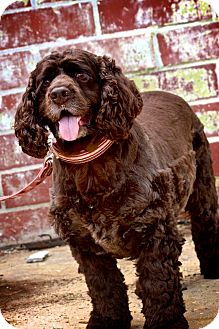 Cocker Spaniel Mix Dog for adoption in Wilmington, Delaware - Cocoa