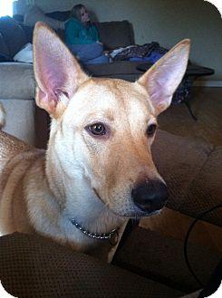 Carolina Dog Mix Dog for adoption in Cranston, Rhode Island - Luke (located in TN)