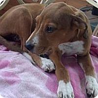 Adopt A Pet :: Karla- In CT - West Hartford, CT