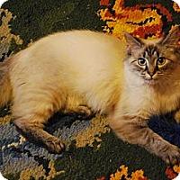 Adopt A Pet :: Belle - Arlington, VA