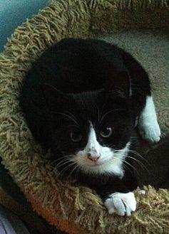 American Shorthair Cat for adoption in Cranford/Rartian, New Jersey - Spencer