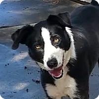Adopt A Pet :: Coda - video - Monrovia, CA