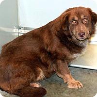 Adopt A Pet :: Callie - New Canaan, CT