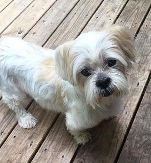 Shih Tzu Mix Dog for adoption in Alpharetta, Georgia - Diamond