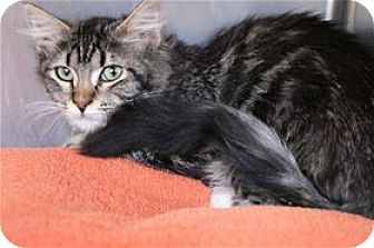 Domestic Mediumhair Kitten for adoption in Lincoln, California - Easton