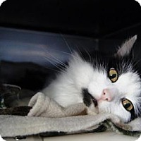 Domestic Longhair Cat for adoption in New Milford, Connecticut - Sparrow