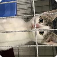 Adopt A Pet :: Pending Feline Blessings - Remus, MI