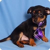 Adopt A Pet :: Sam - Kerrville, TX