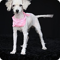 Adopt A Pet :: Sassie - SAN PEDRO, CA