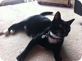 Domestic Shorthair Cat for adoption in Laguna Woods, California - Kiro