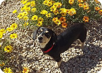Dachshund Mix Dog for adoption in Phoenix, Arizona - Priscilla