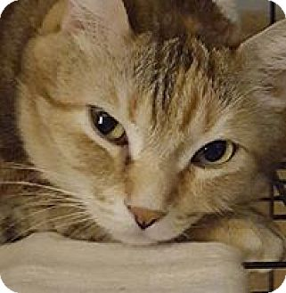 Domestic Shorthair Cat for adoption in Hazel Park, Michigan - Amberle