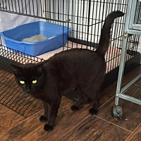 Domestic Shorthair Cat for adoption in Trexlertown, Pennsylvania - Emma