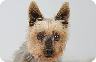 Yorkie, Yorkshire Terrier Dog for adoption in Colorado Springs, Colorado - Cadbury