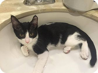 Domestic Shorthair Kitten for adoption in Temecula, California - Lumiere