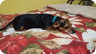 Chihuahua/Dachshund Mix Dog for adoption in Homewood, Alabama - Priscilla