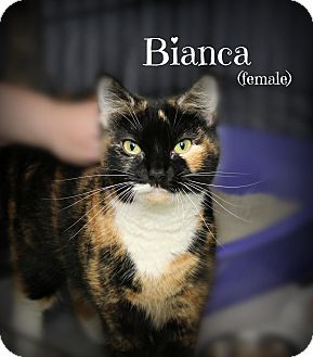 Domestic Shorthair Cat for adoption in Glen Mills, Pennsylvania - Bianca