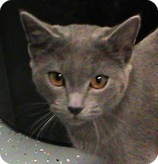 Manx Cat for adoption in Maynardville, Tennessee - Nala