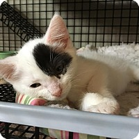 Adopt A Pet :: Adonis - East Brunswick, NJ