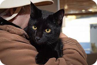 Domestic Mediumhair Kitten for adoption in Wichita, Kansas - Triste