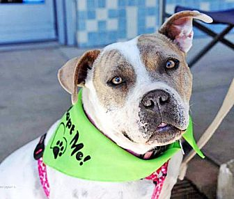 American Bulldog/Pit Bull Terrier Mix Dog for adoption in San Diego, California - Palomita
