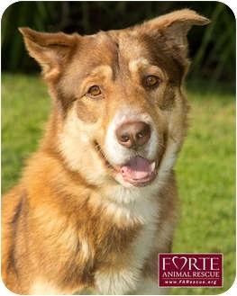 Australian Cattle Dog/Australian Shepherd Mix Dog for adoption in Marina del Rey, California - Nemo