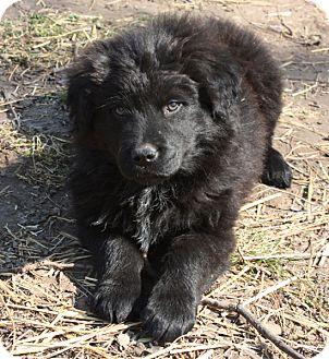 Australian Shepherd Mix Puppy for adoption in kennebunkport, Maine - Daniel - PENDING, in Maine