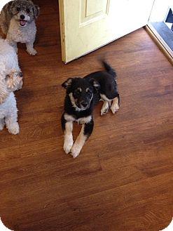 Labrador Retriever/Husky Mix Puppy for adoption in Hollis, Maine - Daphne