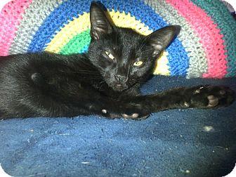 Domestic Shorthair Kitten for adoption in Seminole, Florida - Jade