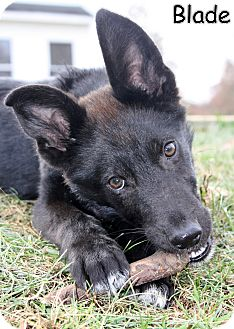 Border Collie/German Shepherd Dog Mix Puppy for adoption in New Jersey, New Jersey - NJ Bordentown - Blade