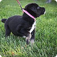 Adopt A Pet :: Kandi - Broomfield, CO