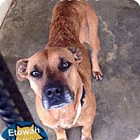 Labrador Retriever Mix Dog for adoption in Boston, Massachusetts - Tula